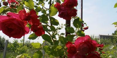 Цветы на моей даче.
