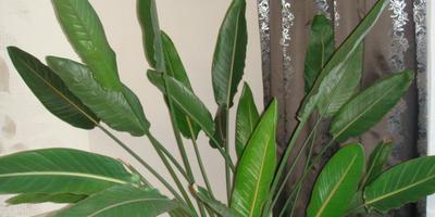 Королевское растение