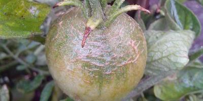 Что за болезнь напала на мои помидоры?