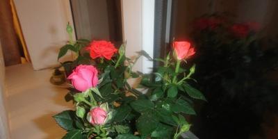 Моя комнатная роза.