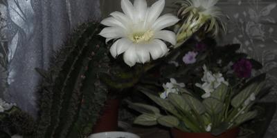 Эхинопсис: белоснежное чудо