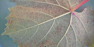 Что это за болезнь винограда?