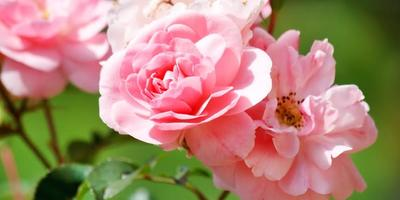 Разводим розы сами. 6 советов и 6 видеосюжетов