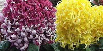 Хотелось бы узнать про этот сорт хризантем