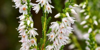 Вереск – целебный медонос в саду
