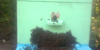 Подскажите, пожалуйста, кто знает, почему роятся пчёлы?