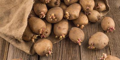 Поделитесь опытом - как вы готовите к посадке картофель?