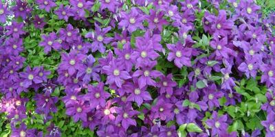 Какие растения для вертикального озеленения нравятся вам и почему?