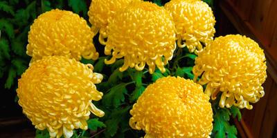 На 7 дач - выходные с хризантемами!