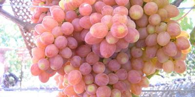 Виноград Кишмиш Премьер, очень вкусный виноград, всеми дома любимый!
