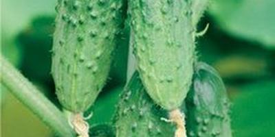 Отзывы о семенах производителя Манул