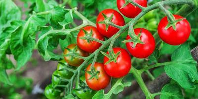 Подскажите хороший сорт томатов черри!