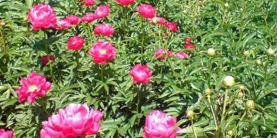 Мой любимый цветок - пион