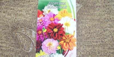 Мои первые цветы из семян - георгины. Георгина махровая - моя любовь новая