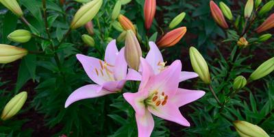 На 7 дач - выходные с лилиями!