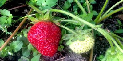 Что делать с цветоносами клубники, которые сейчас с зелеными ягодками - оставить или удалить?