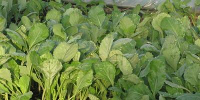 А кто-то посеял капусту на рассаду в этом году? Или лучше высевать сразу в открытый грунт?