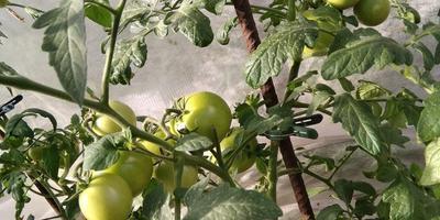 Секреты урожая в моей теплице. Перо - необычный помощник