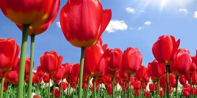 На 7 дач - выходные с тюльпанами. Порадуем себя этой короткой весенней красотой!