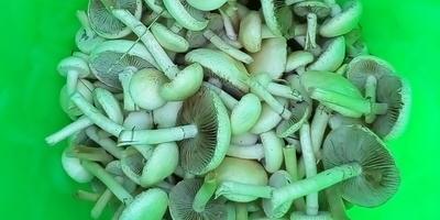 Что это за грибы и можно ли их есть?