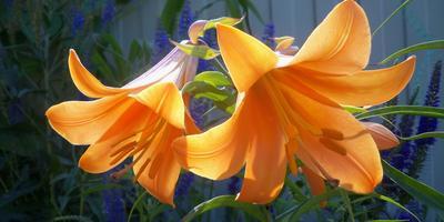 """Лилии трубчатые - изумительные """"граммофоны"""" в моем саду"""