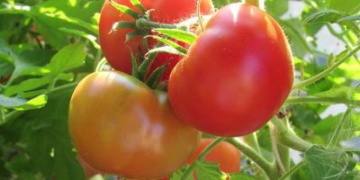 Ваш совет - какие томаты надо обязательно посадить в следующем году?