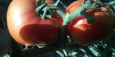 """Выращивали ли вы томат """"Большая мамочка""""?"""