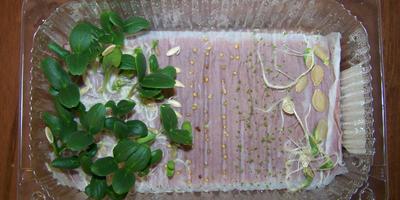 Проращивание семян на туалетной бумаге. Поделитесь своим мнением!