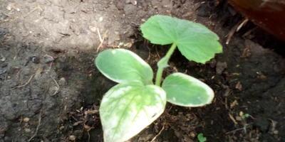 Что случилось с растениями? Или что не так с почвой в теплице?