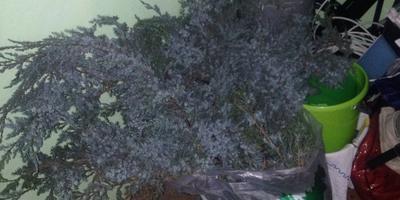 Возможно ли спасти в конце ноября кусты хвойного растения? Что это за растение?