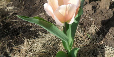 Как часто нужно пересаживать тюльпаны на новое место?