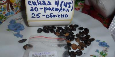 Гортензия из импортных семян