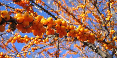"""33 cекрета заготовки на зиму """"золотой ягоды"""" - облепихи"""