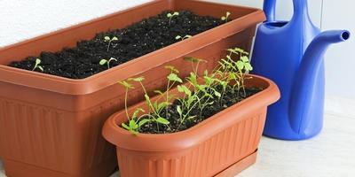 Как вырастить петрушку на подоконнике