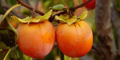 Хурма: сорта, выращивание и уход