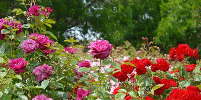 Розы из букета: возможно ли это?