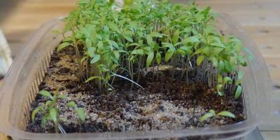 Помогите решить проблему с рассадой клематиса