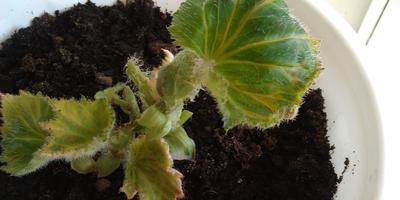 Листья клубневой бегонии стали закручиваться и на кончиках коричневые. Что делать?
