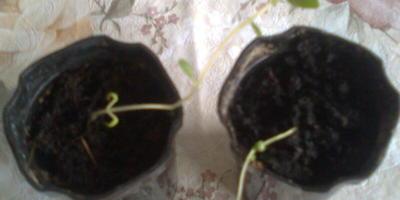 Рассада картофеля из семян тоненькая и вытянулась. Подскажите, что делать?