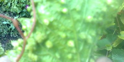 Выпуклые бляшки на листьях винограда Изабелла. Что с этим делать?