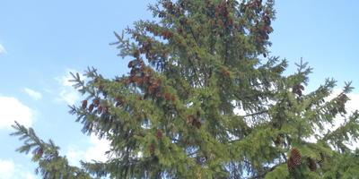Помогите разобраться, какое это хвойное дерево растет у меня на даче?