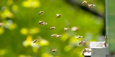 Поделитесь впечатлениями - много ли пчел этой весной летает над цветами?