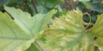 Желтеют и отваливаются листья винограда. Что за болезнь и как лечить?