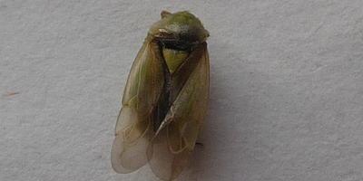 Помогите определить насекомое, которое завелось на огурцах!