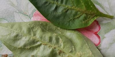 Что за болячки появились на листьях перца?