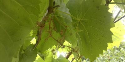 Куст винограда дает сухие грозди. Подскажите, почему это происходит?