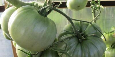 Помидоры Малиновое чудо - очень крупные и вкусные