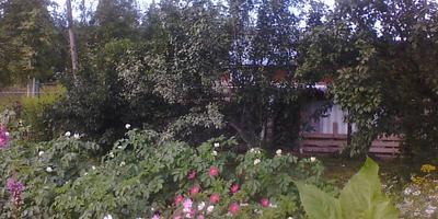 Белесые листья на сливе. Что это за болезнь?
