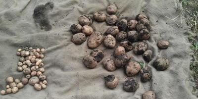 Как проверить, генномодифицированный ли картофель?