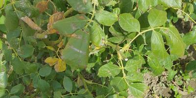Практически на всех растениях одна и та же проблема. Что это и как лечить?